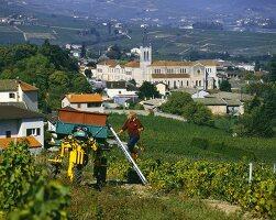 Vintage above Villie-Morgon, Beaujolais, Burgundy