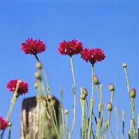 Pink cornflowers against blue sky