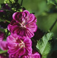 Violet-coloured mallow flowers