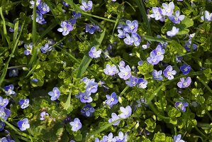 Speedwell in a meadow