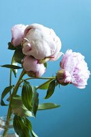 Pink peonies against blue background