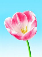 A pink tulip against a blue background