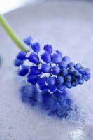 A grape hyacinth