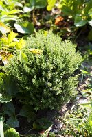 Thyme in a garden