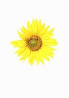 A sunflower