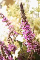 Purple loosestrife in the open air