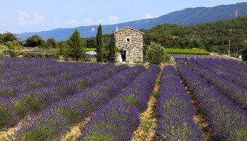 Lavendelfelder vor kleines Steinhaus in der Provence