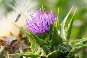Milk thistle flower (silybum marianum, carduus marianus)