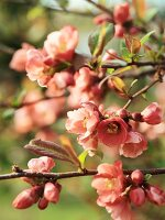 Japanese cherry blossom on branch