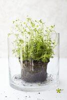 Saxifrage in a jar