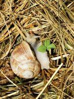 A vineyard snail in straw