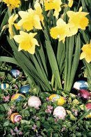 Daffodils Surrounded by Easter Eggs
