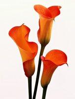 Three Orange Calla Lilies