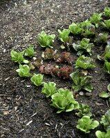 Various salad plants in vegetable garden