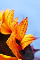 Close Up of Petals on a Sunflower