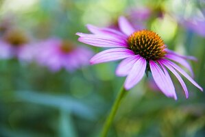 Coneflower Growing Outdoors
