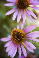 Purple Coneflowers; Outdoors