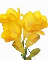 Yellow Freesia Blossoms; White Background