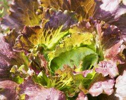 Organic Red Leaf Lettuce in Garden