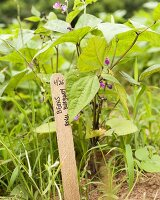 Young Organic Royal Burgundy Beans in Garden