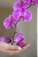 A female hand holding orchid flowers