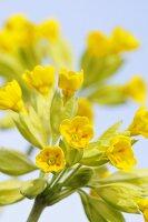 Cowslip (Primula Veris Cabrillo)