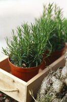 Rosemary in a pot in wooden box
