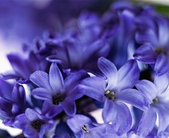 Hyazintenblüten