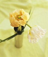 White and salmon-pink poppies in a vase