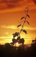 Trieb eines Rebstocks vor Sonnenuntergang