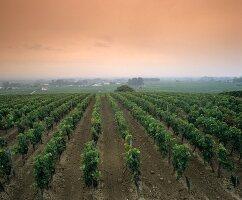 Weinberg bei St. Emilion, Bordeaux, Frankreich