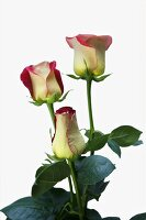 Three two-coloured roses