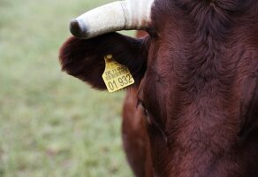 A cow with an ear tag (close-up)