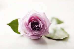 A Lavender Rose; White Background