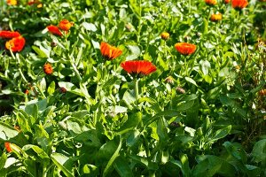 Marigolds in a garden