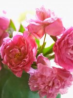 Pink Peonies in a Vase; Close Up