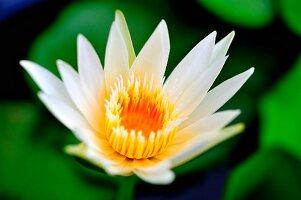 A lotus flower (close-up)