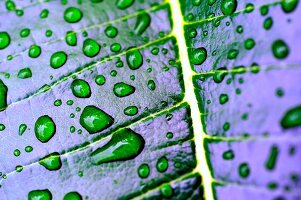 Lotus leaf with droplets of water (detail)