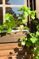 Vine tendrils in front of old lattice window of wooden house