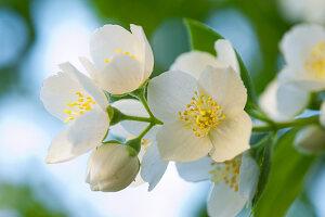 Sprig of flowering white jasmine