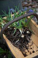 Grape hyacinths and bulbs in wooden trug