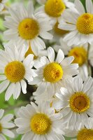 Chamomile flowers (Matricaria chamomilla)