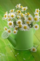 Chamomile flowers (Matricaria chamomilla) in watering can