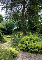 Flowering lady's mantle in garden