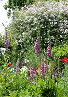 Foxgloves in wild summer garden