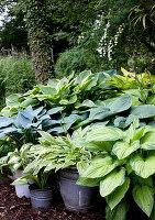 Various types of hosta in old buckets in woodland garden