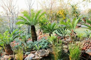 Fern palm in South African garden