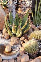 Assorted cactus, Aloe aculeata, Sansevieria cylindrica and Echinocactus grusonii in a garden