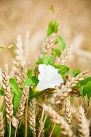 Cereal crop and bindweed