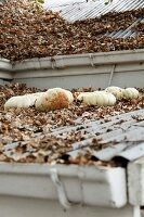 Stored pumpkins and autumn leaves on corrugated metal roofs